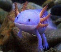 63 Best #Axolotls:) images in 2014 | Axolotl, Animals, Fish