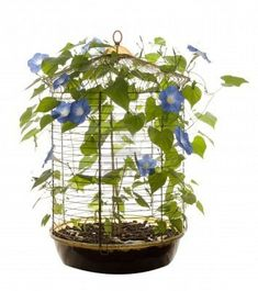 bird cage containing morning glory flowers and vines Morning Glory Vine, Morning Glory Flowers, Morning Glories, Plant Crafts, Inside Plants, Garden Boxes, Garden Ideas, Bird Cages, Flowering Vines