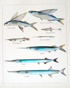 1984 Vintage Fish Print Atlantic Flying Fish, Ballyhoo, Garfish, etc. Book Plate. $10.00, via Etsy.