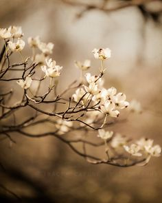 LOVE!!!  Want it in a huge size, though...Dogwood Photograph spring decor neutral tones wall by TraceyCapone, $30.00