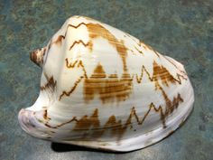 Large Cymbiola Nobilis Volute Conch Sea Shell by LeftoverStuff
