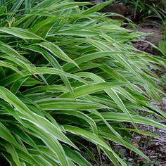 Carex siderosticha 'Variegata' (Broad-leaf sedge) - Fine Gardening Plant Guide