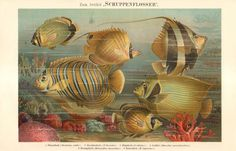 1890 Tropical Fishes Diagonal Butterflyfish Lineated