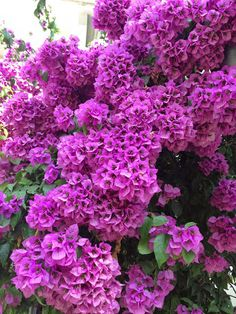 Flor de Camelina, Buganvilla....
