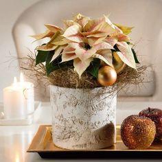 Poinsettia para Navidad