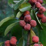 Chinese Aardbeienboom - Fruitbomen.net Mobiel