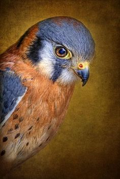 Sparrow Hawk  Bob Jensen -- [REPINNED by All Creatures Gift Shop] GORGEOUS photo!