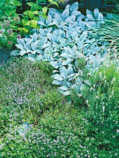 Thyme - easy to grow herbs  Ground-hugging thyme is an ingredient in hundreds of culinary and medicinal staples. In landscapes, it makes a wonderful groundcover, lawn substitute, edging plant in a border, or filler between cracks in pavers. Its trailing habit also works well spilling over the edge of container gardens. Common thyme grows about 1 foot tall and bears pinkish lavender blooms in summer. Grow thyme in full sun.