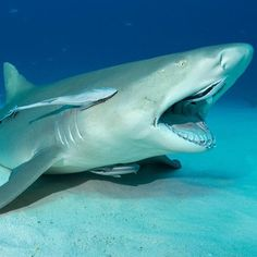 Discovery's photo.Lemon shark opens its mouth to allow REmoras to clean inside!