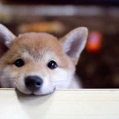 テーブルを噛む犬