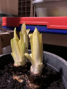 Voor het kweken van witlof heb je wat geduld nodig - Tante Tuin Celery, Vegetables, Food, Patience, Vegetable Recipes, Eten, Veggie Food, Meals, Veggies