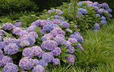 Hortensie 'Endless Summer' (Foto: Forever & Ever)