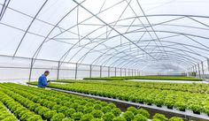 Our herbs are hydroponically grown in these vast tents - to ensure top quality all year. Tents, Fresh, Top, Teepees, Tent, Crop Tee