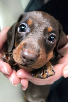 Chien mignon Chien dog Cute Dog Beautiful dog Pretty dog Cool dog Cute dog pictures Cute dog Video Satisfying Satisfaisant Kawai dog Doggydog Cute dogs Cute dogs in the world Cute dog breeds Cute dogs small Cute dogs pics Cute dogs ever Puppies Puppy Dachshund Breed, Dachshund Quotes, Dachshund Love, Daschund, Pet Quotes, Dapple Dachshund, Weenie Dogs, Pet Dogs, Pets