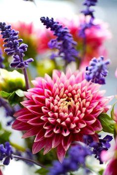Dahlia & lavender