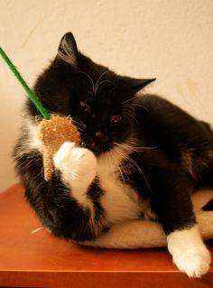 Liczi - koteczka do adopcji.