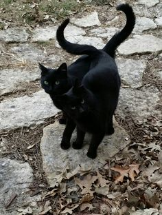 Keep your black cat inside, not just on the but also in the days leading up to Halloween. Keep all cats inside or in a catio at all times. We need to look after songbirds & keep cats safe from cars & predators. Crazy Cat Lady, Crazy Cats, Beautiful Cats, Animals Beautiful, Beautiful Creatures, Animals And Pets, Cute Animals, Black Animals, Animal Gato