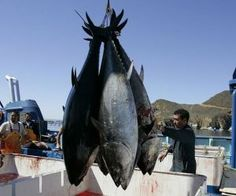 """Every bluefin tuna tested in the waters off California has shown to be contaminated with radiation that originated in Fukushima. Every single one. In May of 2012, the Wall Street Journal reported on a Stanford University study. Daniel Madigan, a marine ecologist who led the study, was quoted as saying, """"The tuna packaged it up (the radiation) and brought it across the world's largest ocean. We were definitely surprised to see it at all and even more surprised to see it in every one we…"""