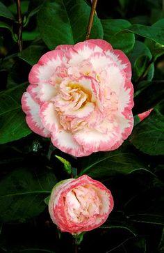 Camelia Davis | ... fleurs › Camélia du Japon, CAMELIA japonica 'MARGARET DAVIS