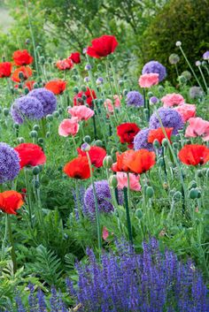 Queen Victoria Oriental Poppy, Red Poppy, purple Salvia, allium. Beautiful!