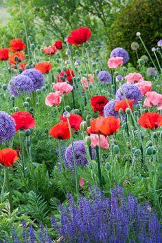 Queen Victoria Oriental Poppy, Red Poppy, purple Salvia, allium. Beautiful! Summer garden bliss