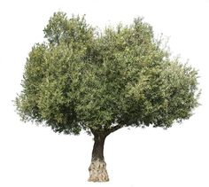 4222 x 3800 pixels PNG image, with transparent background. Olea europaea Olive tree; Olivier; Olivo, Oliveira Found in the Mediterranean Basin, from Portugal to the Arabian Peninsula and southern Asia as far east as China.