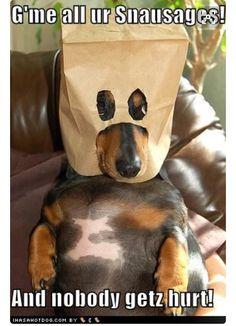 #doxie #doxies #dachshund #dachshunds #dachshundlove #dachshundworld #dachshundlife #dachshund's #dachshundpuppy #sausagedog #funnydachshund #cutedachshund #minidachshund #ilovedoxie #ilovedachshund #ilovesausagedog
