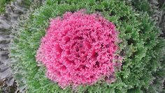 Glamour Red Ornamental Kale starting to show it's color this fall! Leaf coloring begins when night temperatures fall below 55 degrees Fahrenheit for approximately two weeks and continues to bloom from November to March in warmer climates. Cabbage Flowers, Red Flowers, Beautiful Flowers, Garden Seeds, Garden Pots, Planting Succulents, Planting Flowers, Potted Plants, Indoor Plants