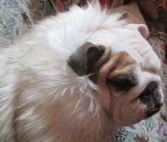 ENGLISH BULLDOG faux Fur Coat Bulldog Custom Pattern/Warm fur coat for dog/Plaid fabric lining/Reversible