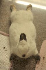 Flying on the floor (RosyBunny) Tags: cute rabbit bunny dwarf fat adorable coco himalayan 兔 うさぎ