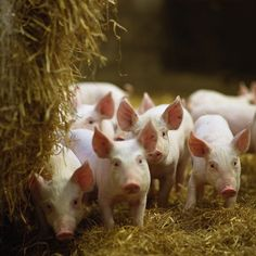 piglets on straw.  I don't know why I find this so charming - but I do!