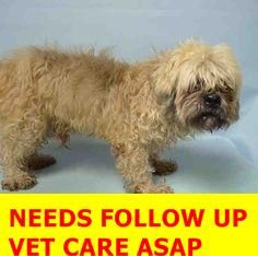 SAFE 12-3-2015 by For our Friends --- SUPER URGENT Brooklyn Center KEITH – A1058875  ***NEEDS FOLLOW UP VET CARE ASAP***  MALE, TAN / BROWN, BRUSS GRIFFON MIX, 12 yrs STRAY – STRAY WAIT, NO HOLD Reason STRAY Intake condition UNSPECIFIE Intake Date 11/25/2015 http://nycdogs.urgentpodr.org/keith-a1058875/