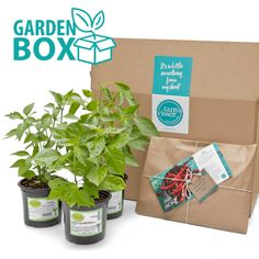 I am so excited to bring to you my Chilli Garden Box. Yes Folks, six healthy strong chilli plants in a box! Delivered straight to your door, with everything you need to turn you into a Chilli Guru. How awesome is that.