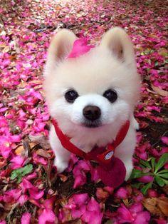 Cyclists And Dogs Cute Baby Animals, Animals And Pets, Cute Puppies, Dogs And Puppies, Pet Dogs, Dog Cat, Teddy Bear Cartoon, World Cutest Dog, Pomeranian Puppy