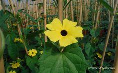 Thunbergia 'Sunny Lemon Star' wm