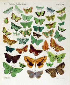 Vintage butterfly illustration; green butterfly