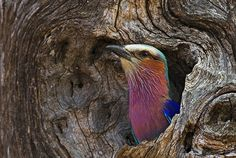 lilac breasted roller nesting - Google Search