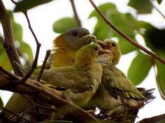 Filename: bird, pigeons, yellow footed green pigeons wallpaper Resolution: File size: 487 kB Uploaded: - Date: Green Pigeon, Cool Wallpaper, Birds, Animals, Wallpapers, Yellow, Colourful Birds, Animales, Animaux