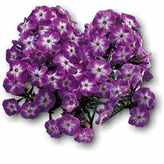 17 best flowers purple images on pinterest purple flowers the laura garden phlox plant is a gorgeous royal purple flower that has white splashes around mightylinksfo