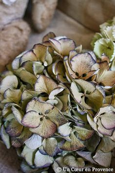 Detail of a dried hydrangea