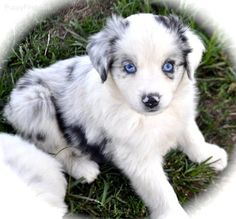 so cute! mini australian shepherd :)