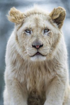 ~~Madiba, a young white lion by Tambako the Jaguar~~