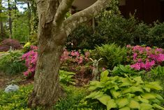 Azaleas, hostas ferns under the shade of a redbud Around The Corner, Early Spring, Tropical Garden, Garden Ideas, Landscape, Signs, Plants, Ferns, Beginning Of Spring
