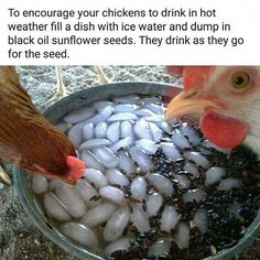Chicken Coop - - Getting chickens to drink in hot weather Building a chicken coop does not have to be tricky nor does it have to set you back a ton of scratch. Chicken Garden, Chicken Life, Backyard Chicken Coops, Chicken Coop Plans, Building A Chicken Coop, Chicken Runs, Diy Chicken Coop, Backyard Farming, Chickens Backyard