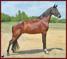 "For Sale - AIN'T NO JUSTICE #20703847 - ""Bandit"" is a beautiful brown Tennessee Walking Horse gelding - 4 years old - about 14.3 hands - has a great way of going - could take him to a show or ride him down a trail - very gentle and easy to work with. Foaled 05/19/2007. Located in Texas. Priced at $3,950. VIDEO Overseas transport can be arranged.   http://www.walkerswest.com/Stalls/AintNoJustice.htm"