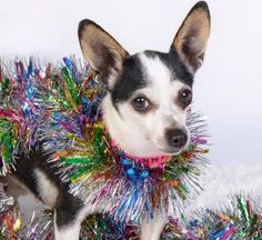 Bindi is available for adoption at National Mill Dog Rescue. #adopt #dog #nmdr #puppymill #adoptdontshop
