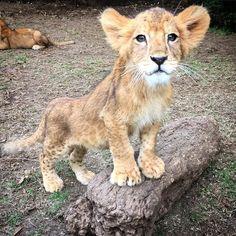"Black Jaguar-White Tiger on Instagram: ""Baby Shambala... #cheyennespride #savelions #saveourplanet #behuman #notpets #nosonmascotas #blackjaguarwhitetiger #rescuedlions Pic by @ericscottbjwt"""