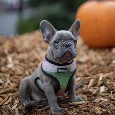Nw Frenchies Lilac French Bulldog Puppy For Sale Washington State Bulldog Puppies Lilac French Bulldog Bulldog Puppies For Sale