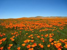 The Antelope Valley California Poppy Reserve is a State Natural Reserve and consists of California's most consistent poppy fields.