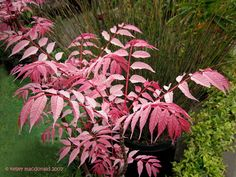 Toona sinensis 'Flamingo'; formerly Cedrela sinensis 'Flamingo' Common Name Pink-leaved Chinese mahogany z5-11 -- SPRING! growth